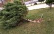 Devrilen cam ağaçları yeniden dikildi Haberi